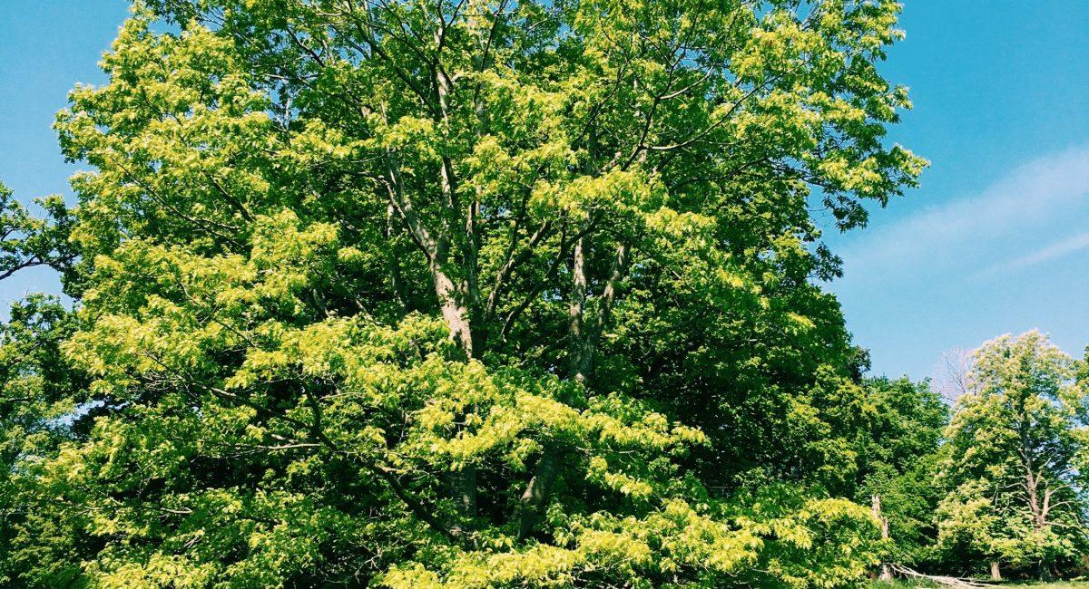 Tree in the walk