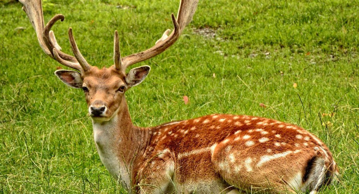 deer at eastnor castle